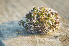Wild herb with small flowers. Lying on a wooden surface. Plant green white flowers Stock Photo