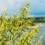 Wild herb Wormwood Artemisia absinthium. The flowering tree Royalty Free Stock Images