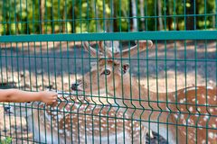 A wild herbivore cervus dama in captivity, in an aviary, a cage of a zoo under the supervision of people, fed, in summer stock images