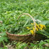 Wild herbs. Basket with collected wild herbs in the forest royalty free stock image