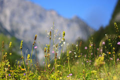 Wild herbs growing on a meadow in the Alps Stock Photography