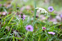 Wild herbs growing on a meadow in the Alps Stock Photo