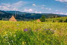 Wild herbs on a rural field in summer countryside. Lovely scenery in Carpathian mountains Stock Image