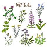 Wild herbs set Royalty Free Stock Photo
