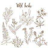Wild herbs set Royalty Free Stock Image