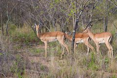 Wild herd of antelope  in national Kruger Park in UAR Royalty Free Stock Photos