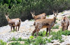 Wild herd of chamois in the wild while graze amid the rocks Royalty Free Stock Images