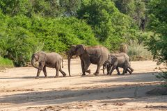Wild herd of elephants come to drink in Africa in national Kruger Park in UAR Royalty Free Stock Photo