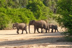 Wild herd of elephants come to drink in Africa in national Kruger Park in UAR Royalty Free Stock Photography