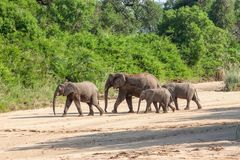 Wild herd of elephants come to drink in Africa in national Kruger Park in UAR Royalty Free Stock Image