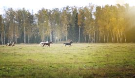Wild herd horses gallop in a clear green field, against the background of trees of birches royalty free stock photos