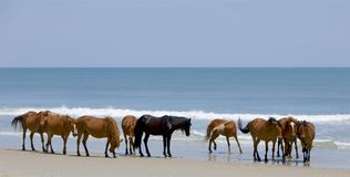 Wild Herd. Herd of wild horses on the shores of the Atlantic. Water is bright blue, sky is pale.  Small waves form a white break in the background Royalty Free Stock Photography
