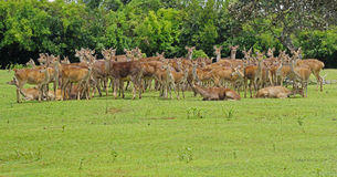 Wild herd of Java deer in Mauritius Stock Image
