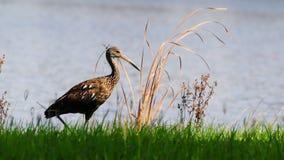 Wild Heron Stock Photography
