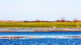wild heron Royaltyfri Foto