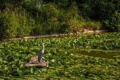 wild heron Royaltyfria Bilder