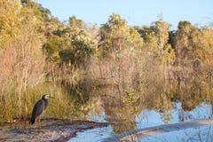 Wild Heron bird on lake shore, Fraser, Australia Stock Photography