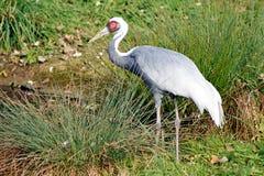Wild heron bird Royalty Free Stock Photo
