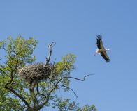 Wild heron flying out of his nest on the tree in the field. In Ukraine stock image