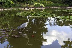Wild heron on hunt Stock Photography