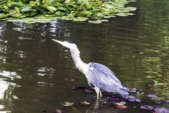 Wild heron on hunt Royalty Free Stock Images
