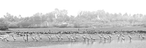 Herons earn a living in a foggy day, Vung Tau, Vietnam royalty free stock images