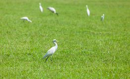 Wild herons. On green grass Stock Image