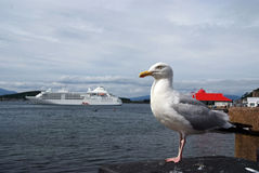 Wild herring gull in port. In front of cruise ship royalty free stock images