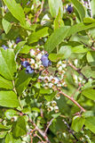 Wild Highbush Blueberries Royalty Free Stock Photos