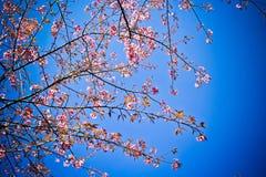 Wild Himalayan Cheery. On blue sky background Stock Photo