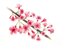 Wild himalayan cherry Royalty Free Stock Photography
