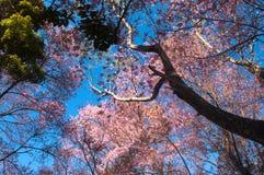 Wild Himalayan Cherry Stock Photo