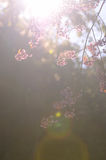 Wild Himalayan Cherry Stock Image
