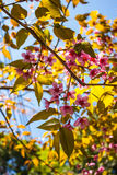 Wild Himalayan Cherry. B;ooming blossom in Chiang Mai,Thailand Stock Images