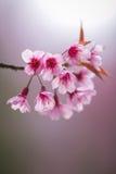 Wild Himalayan Cherry Stock Photos
