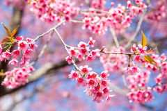Wild Himalayan Cherry Royalty Free Stock Photo