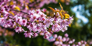Wild Himalayan Cherry. Blooming blossom in Chiang Mai,Thailand Stock Images