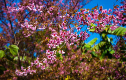 Wild Himalayan Cherry. Blooming blossom in Chiang Mai,Thailand Royalty Free Stock Image