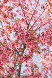 Wild Himalayan Cherry. Blooming blossom in Chiang Mai,Thailand Royalty Free Stock Photography
