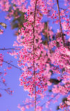 Wild Himalayan cherry blooming Royalty Free Stock Photography