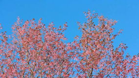Wild Himalayan cherry blooming in Thailand stock video footage