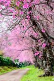 Wild Himalayan Cherry Blossom, beautiful pink sakura Flower with Royalty Free Stock Photos