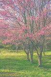 Wild Himalayan cherry blossom forest in full bloom, Thailand. Vi Royalty Free Stock Photography