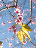 Wild Himalayan cherry blossom. Higher tree Royalty Free Stock Images