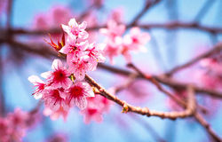 Wild himalayan cherry. Blossom wild himalayan cherry in thailand Stock Photo