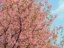 Wild Himalayan cherry blossom Royalty Free Stock Images