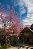 Wild Himalayan Cherry Blossoms in Banrongkha Royalty Free Stock Images