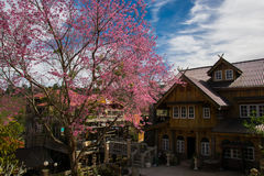 Wild Himalayan Cherry Blossoms in Banrongkha Stock Photo