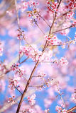 Wild Himalayan cherry blossoms is  blooming Stock Images