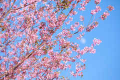 Wild Himalayan cherry blossoms is  blooming Royalty Free Stock Image